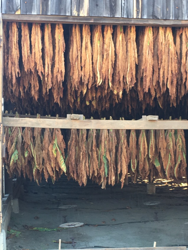 hanging tobacco1